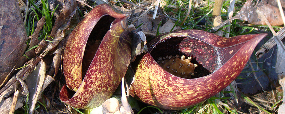 Симплокарпус вонючий (Skunk cabbage)